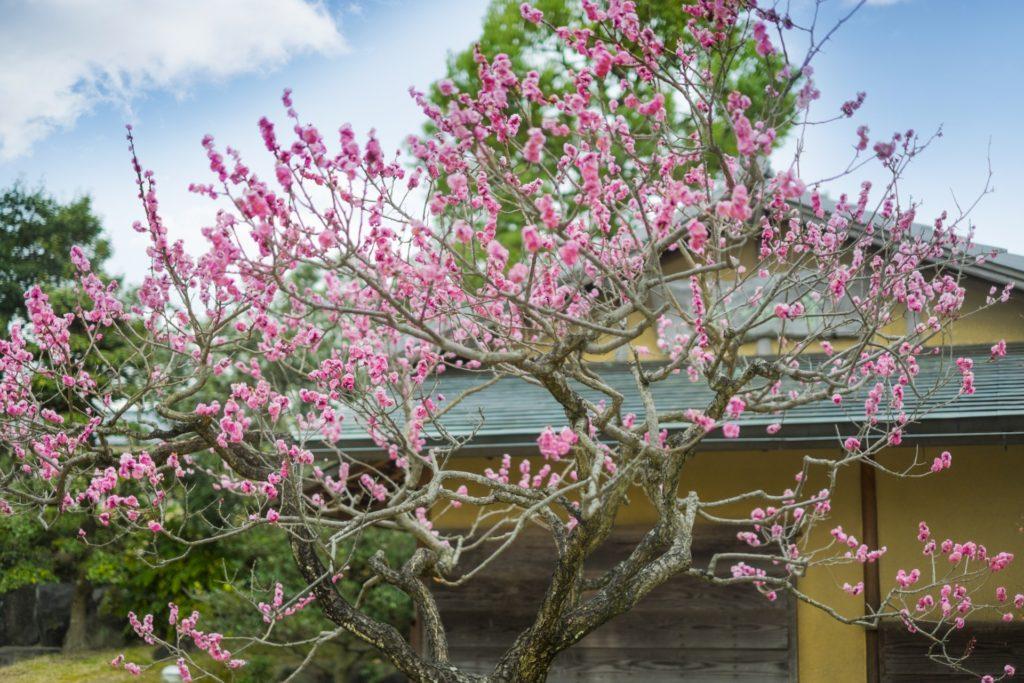 庭に咲く梅花
